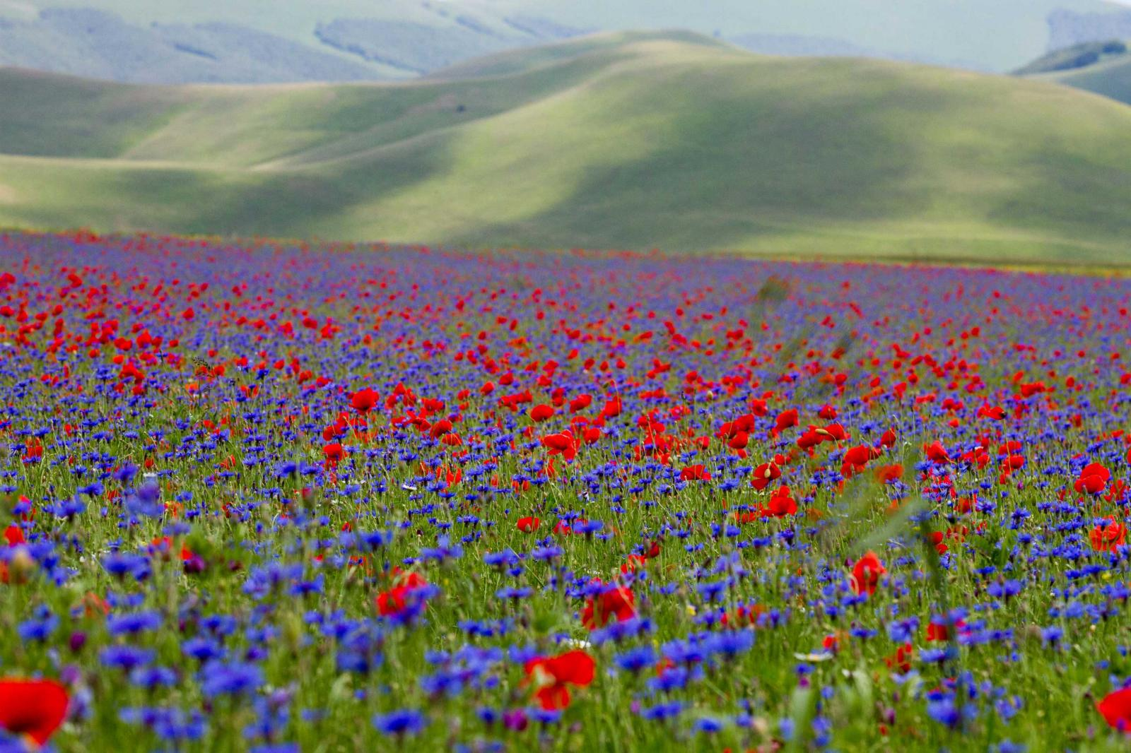 Campi rossi e blu sulla piana di Castelluccio